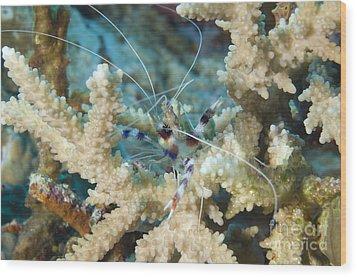 Banded Coral Shrimp Amongst Staghorn Wood Print by Steve Jones