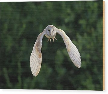 Barn Owl Flying Wood Print by Tony McLean