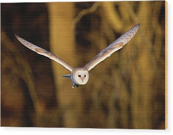 Barn Owl In Flight Wood Print by MarkBridger