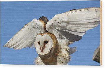 Barn Owl In Flight Wood Print by Paulette Thomas