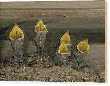 Barn Swallow Hirundo Rustica Chicks Wood Print by Cyril Ruoso