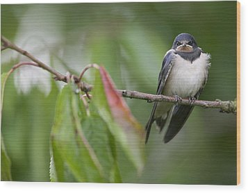 Barn Swallow Hirundo Rustica Fledgling Wood Print by Cyril Ruoso