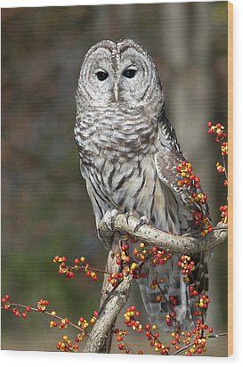 Barred Owl And Bittersweet Wood Print by Cindy Lindow