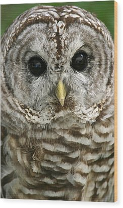 Barred Owl Wood Print by Cindy Haggerty