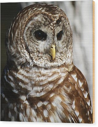 Barred Owl Wood Print by Paulette Thomas