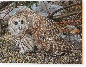 Barred Owl Warning Wood Print