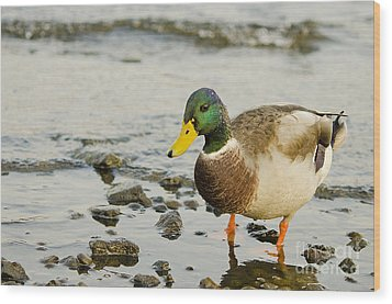 Wood Print featuring the photograph Beach Strolling Mallard by MaryJane Armstrong