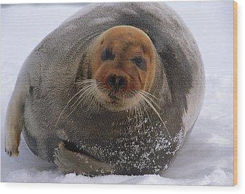 Bearded Seal Erignathus Barbatus Adult Wood Print by Flip  Nicklin