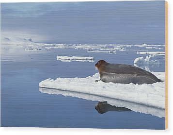 Bearded Seal Resting On Ice Floe Norway Wood Print by Flip Nicklin