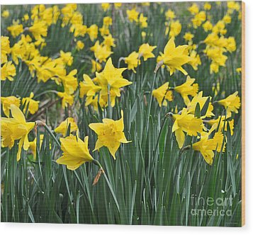 Beautiful Daffodil Field Floral Print Wood Print by Nature Scapes Fine Art