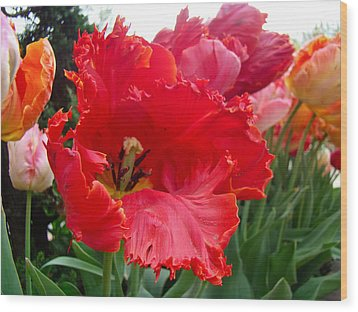 Beautiful From Inside And Out - Parrot Tulips In Philadelphia Wood Print by Mother Nature