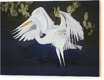 Beautiful Great White Egret Wood Print by Paulette Thomas