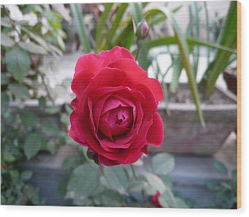 Beautiful Red Rose In A Small Garden Wood Print by Ashish Agarwal