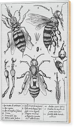 Bee Anatomy Historical Illustration Wood Print by SPL and Photo Researchers