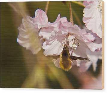 Bee Fly Feeding 1 Wood Print by Douglas Barnett