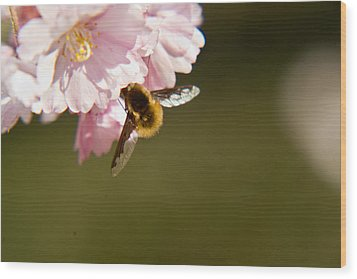 Bee Fly Feeding 4 Wood Print by Douglas Barnett
