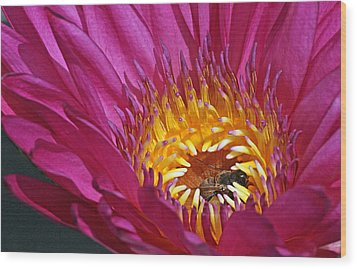 Bee Hiding In Pink Waterlily Wood Print by Becky Lodes