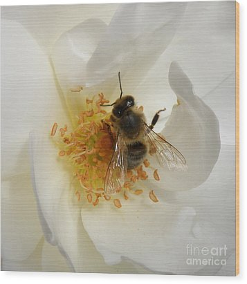 Bee In A White Rose Wood Print by Lainie Wrightson