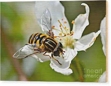 Bee On Apple Blossom Wood Print by Lila Fisher-Wenzel