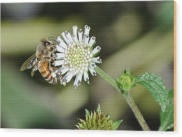 Wood Print featuring the photograph Bee On White Clover by Jodi Terracina