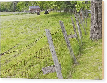 Belted Galloway Cows Farm Rockport Maine Wood Print by Keith Webber Jr