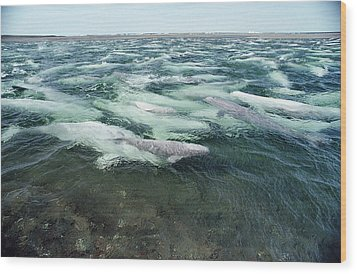 Belugas Swimming And Molting Wood Print by Flip Nicklin