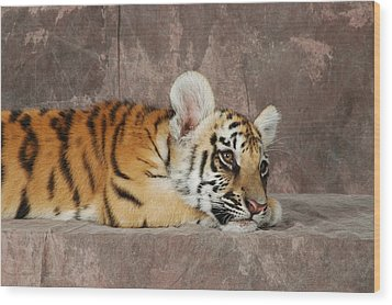 Bengal Cub Wood Print by David Taylor