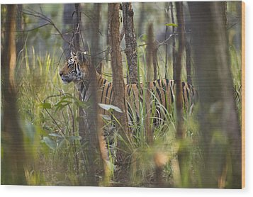 Bengal Tiger  17-month Old Wood Print by Richard Packwood