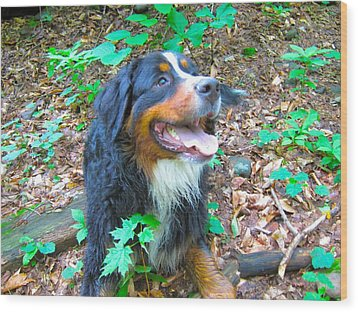 Bernese In The Woods Wood Print by Kathryn Barry