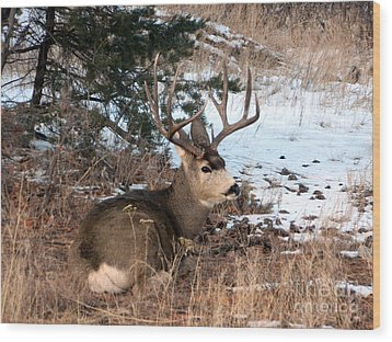 Big Buck At Rest Wood Print by Sara  Mayer