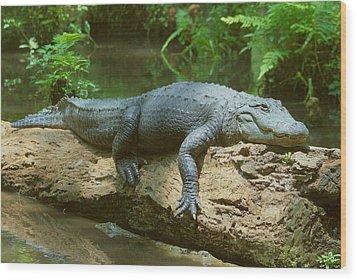 Big Gator On A Log Wood Print by Myrna Bradshaw