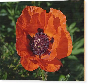 Wood Print featuring the photograph Big Red Poppy by Lynn Bolt