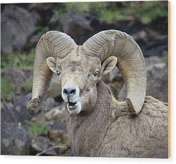 Wood Print featuring the photograph Bighorn Giant by Steve McKinzie