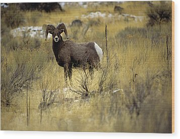 Bighorn Sheep (ovis Canadensis) Wood Print by Altrendo Nature