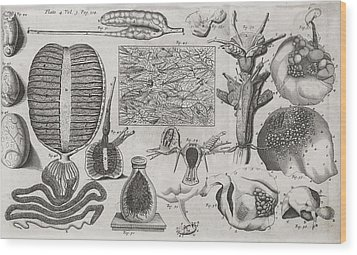 Biological Illustrations, 17th Century Wood Print by Middle Temple Library
