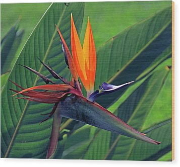 Bird Of Paradise Wood Print by Larry Nieland
