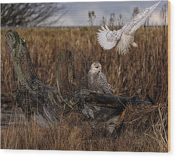 Birds Of Bc - No.14 - Snowy Owl Fly By Wood Print by Paul W Sharpe Aka Wizard of Wonders