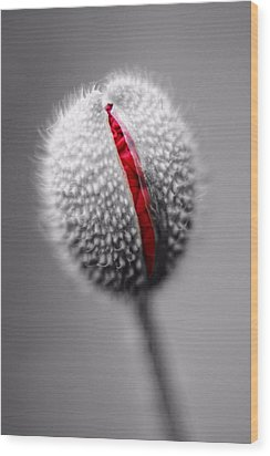Birth Of A Poppy Wood Print by Tracie Kaska