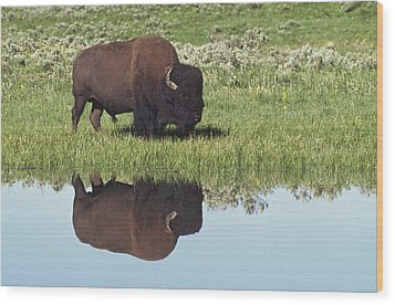 Bison Bison Bison On Grassy Meadow With Wood Print by David Ponton