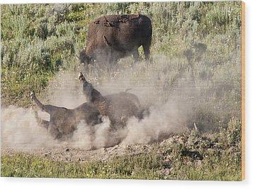 Bison Dust Bath Wood Print by Paul Cannon