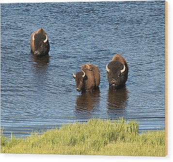 Bison Enjoying The Water Wood Print by Paul Cannon