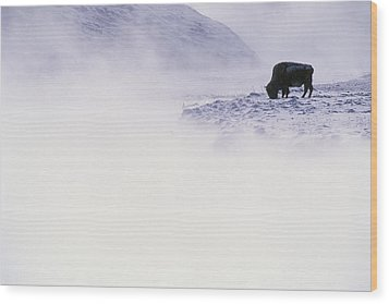 Bison Grazing In Winter Wood Print by Bobby Model