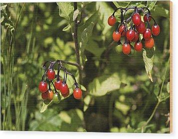 Bittersweet Berries (solanum Dulcamara) Wood Print by Dr Keith Wheeler