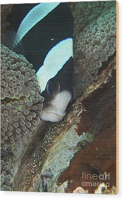 Black And White Anemone Fish Looking Wood Print by Mathieu Meur