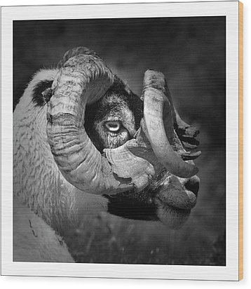 Black And White Image Of Ram Wood Print by Colin Campbell