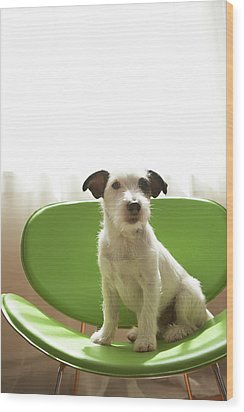 Black And White Terrier Dog Sitting On Green Chair By Window Wood Print by Chris Amaral