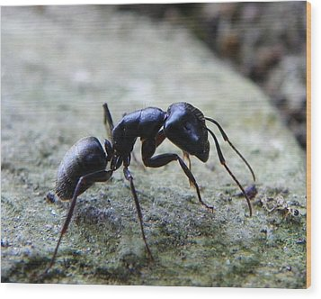 Wood Print featuring the photograph Black Ant 2 by Chad and Stacey Hall