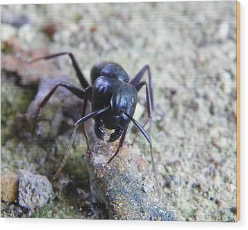 Black Ant Wood Print by Chad and Stacey Hall