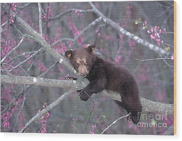 Black Bear Cub On Branch Wood Print by Alan and Sandy Carey and Photo Researchers
