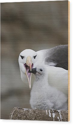 Black Browed Albatross Preparing Wood Print by Suzi Eszterhas